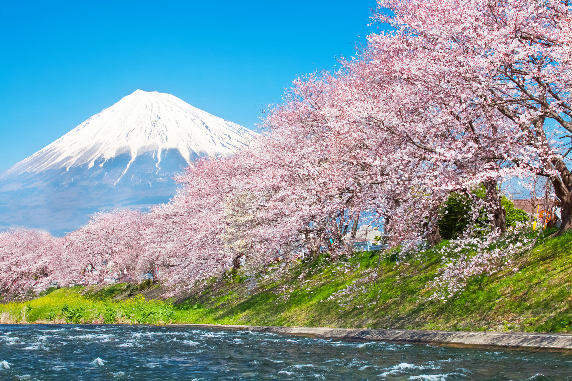 Bing Fall Wallpaper The Graceful Cherry Blossom A Story Of Autumn In