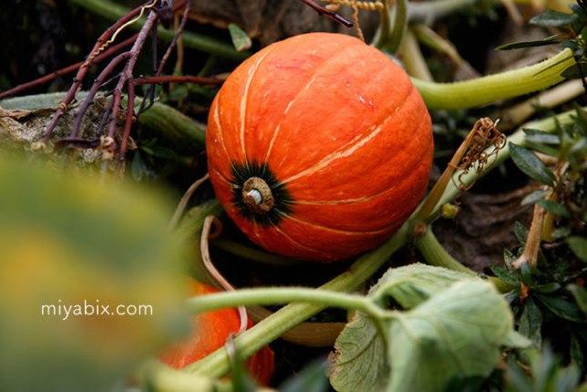 かぼちゃ,ハロウィン