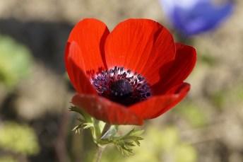 anemone-311401_640