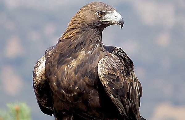 Golden Eagles Remain Endangered In Mexico