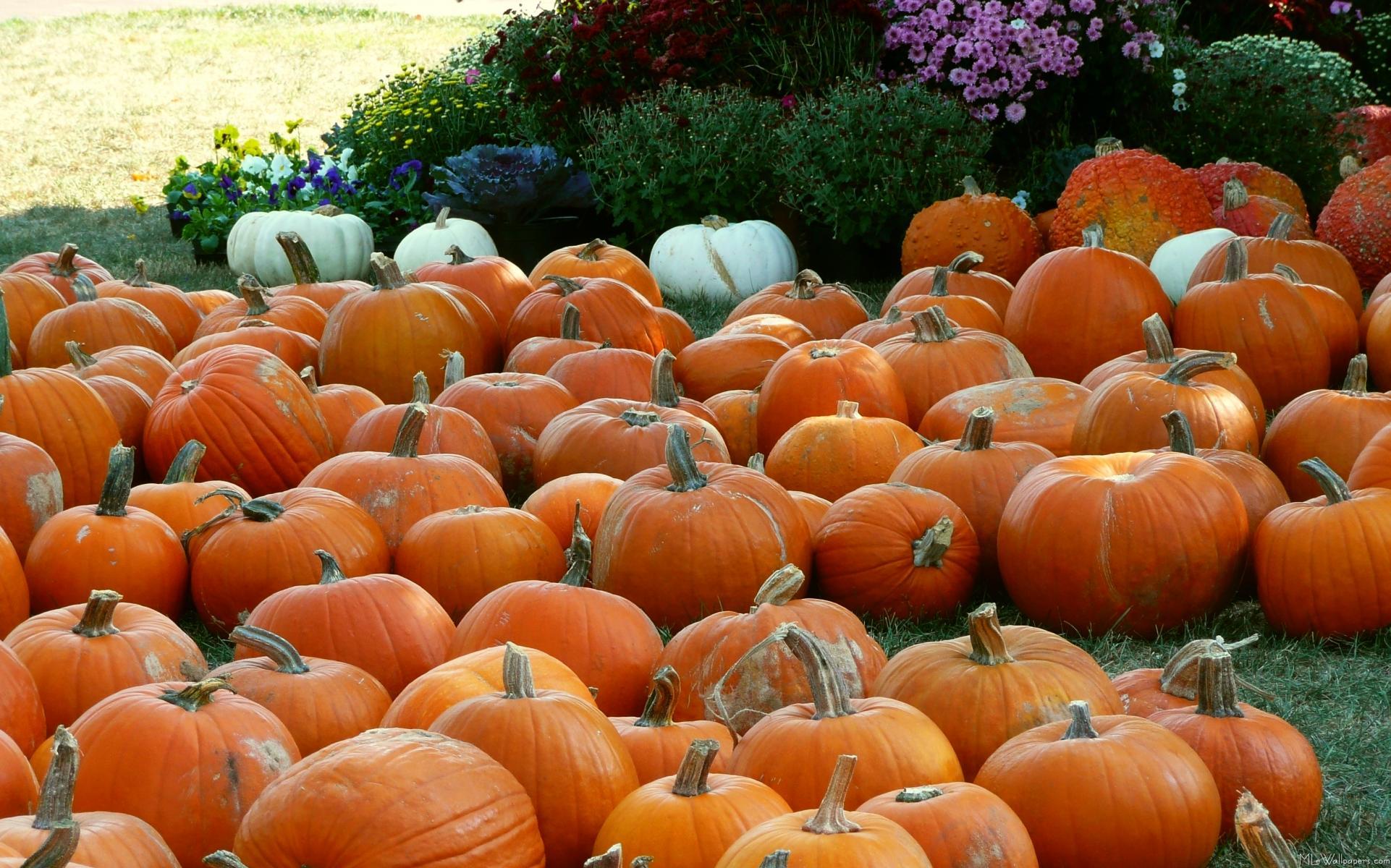 Fall Harvest Desktop Wallpaper Mlewallpapers Com Pumpkins And Mums