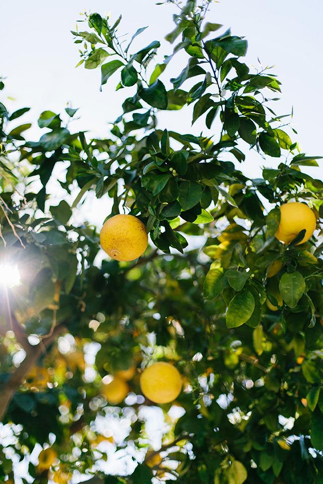 grapefruit trees in palm springs M Loves M