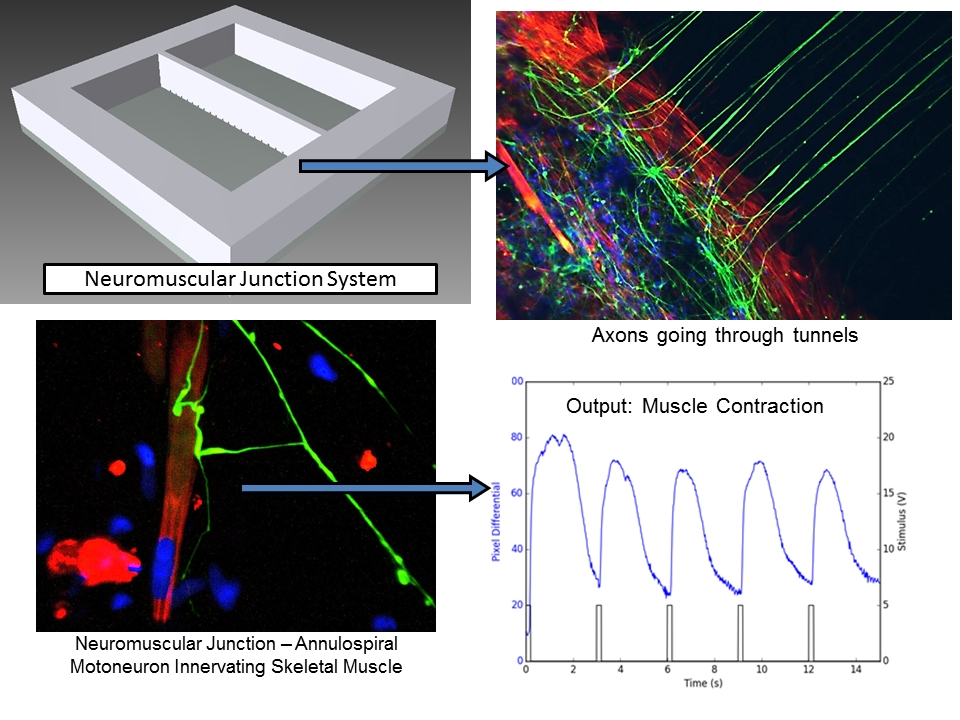 Human-on-a-chip Company Hesperos Licenses First Functional Stem-Cell - neuromuscular junction