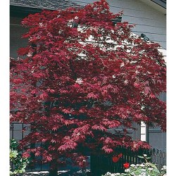 Small Crop Of Purple Ghost Japanese Maple