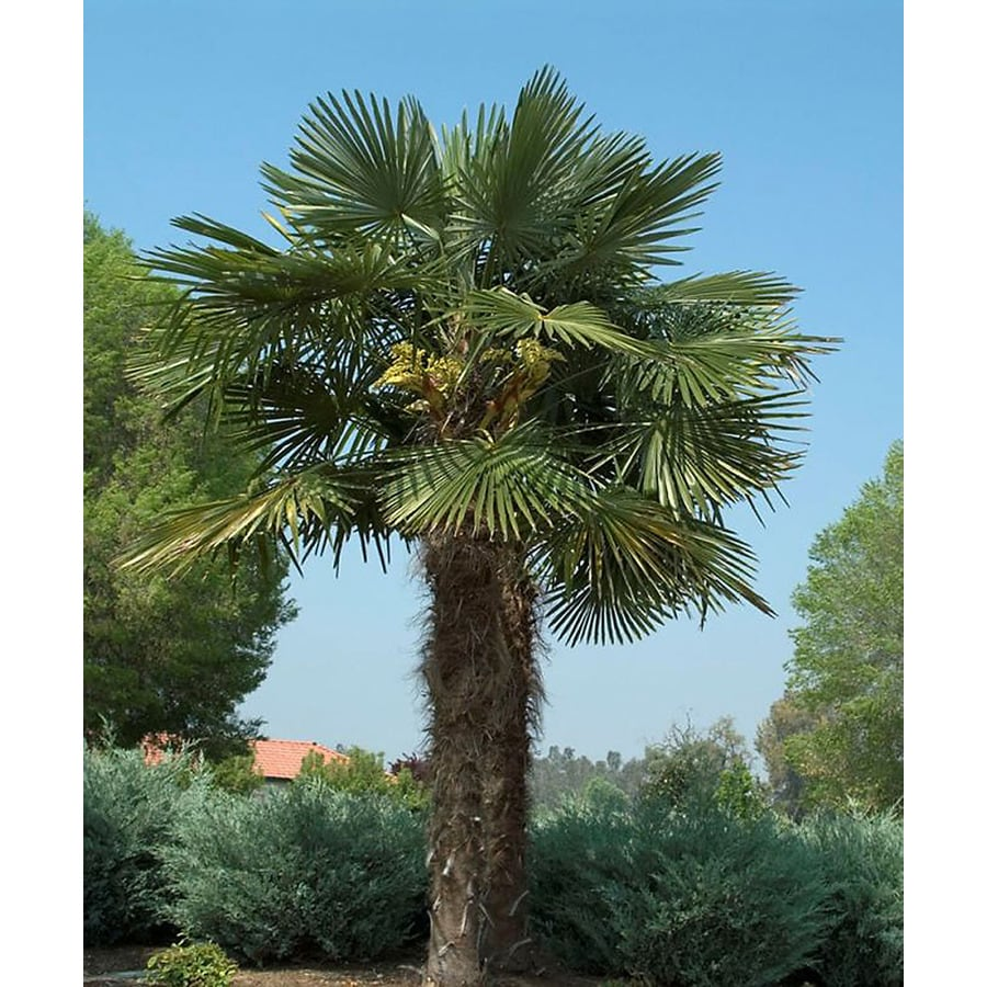 Home Depot Palm Trees Monrovia 3 58 Gallon Yellow Windmill Palm Feature Tree At Lowes