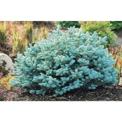 Small Of Globe Blue Spruce