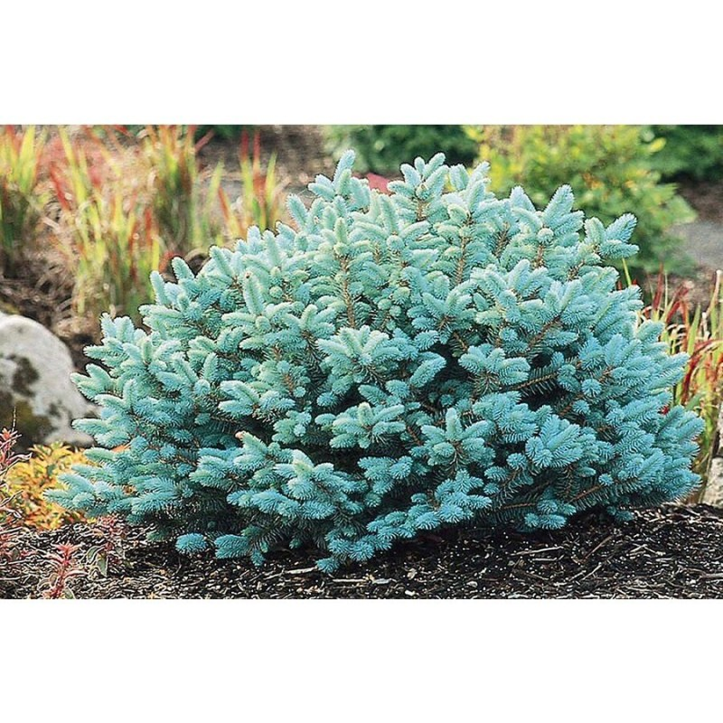 Large Of Globe Blue Spruce