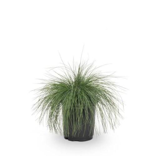 Medium Crop Of Blue Fescue Grass
