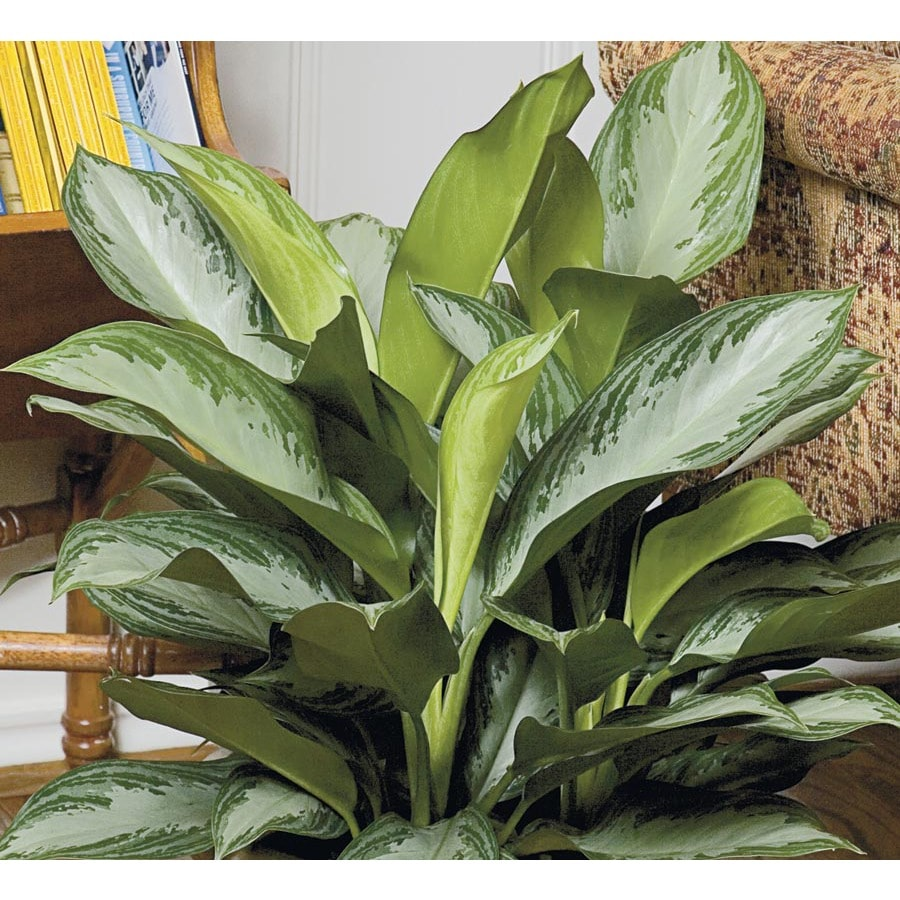 Asian Plants For Sale Chinese Evergreen L20910hp At Lowes