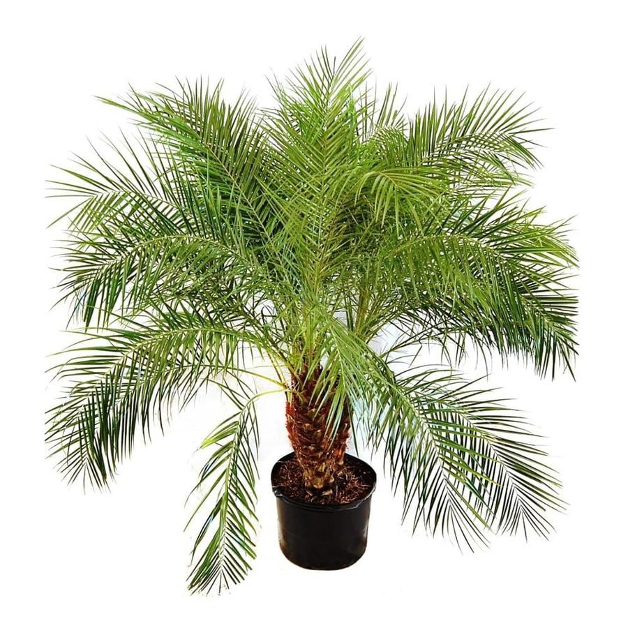 Home Depot Palm Trees 2 25 Gallon In Pot Pygmy Date Palm L7542 At Lowes