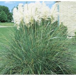 Small Of Dwarf Pampas Grass