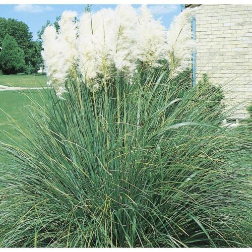 Medium Of Dwarf Pampas Grass