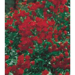 Small Of Lady Banks Rose