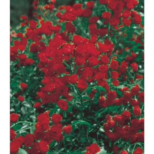 Medium Crop Of Lady Banks Rose