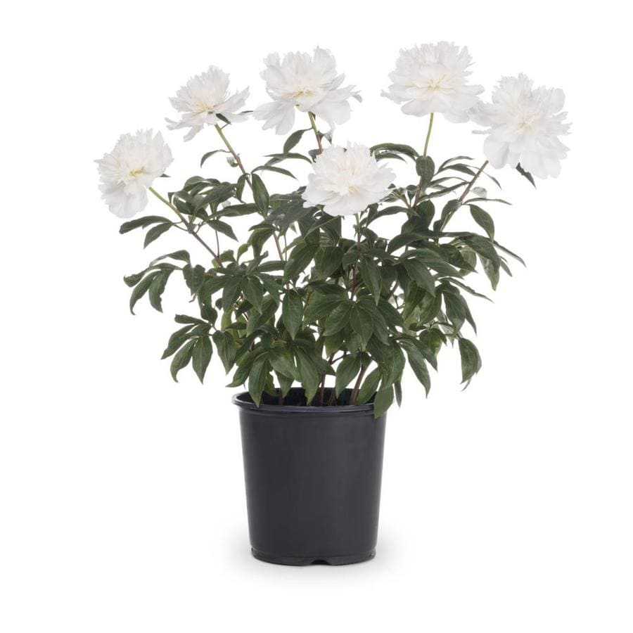 Pianese Flowers 1 Gallon In Pot Peony Lb16167 At Lowes