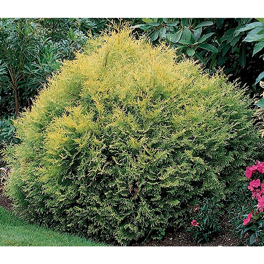 Thuja Rheingold Rheingold Arborvitae Accent Shrub In Pot With Soil L3765 At