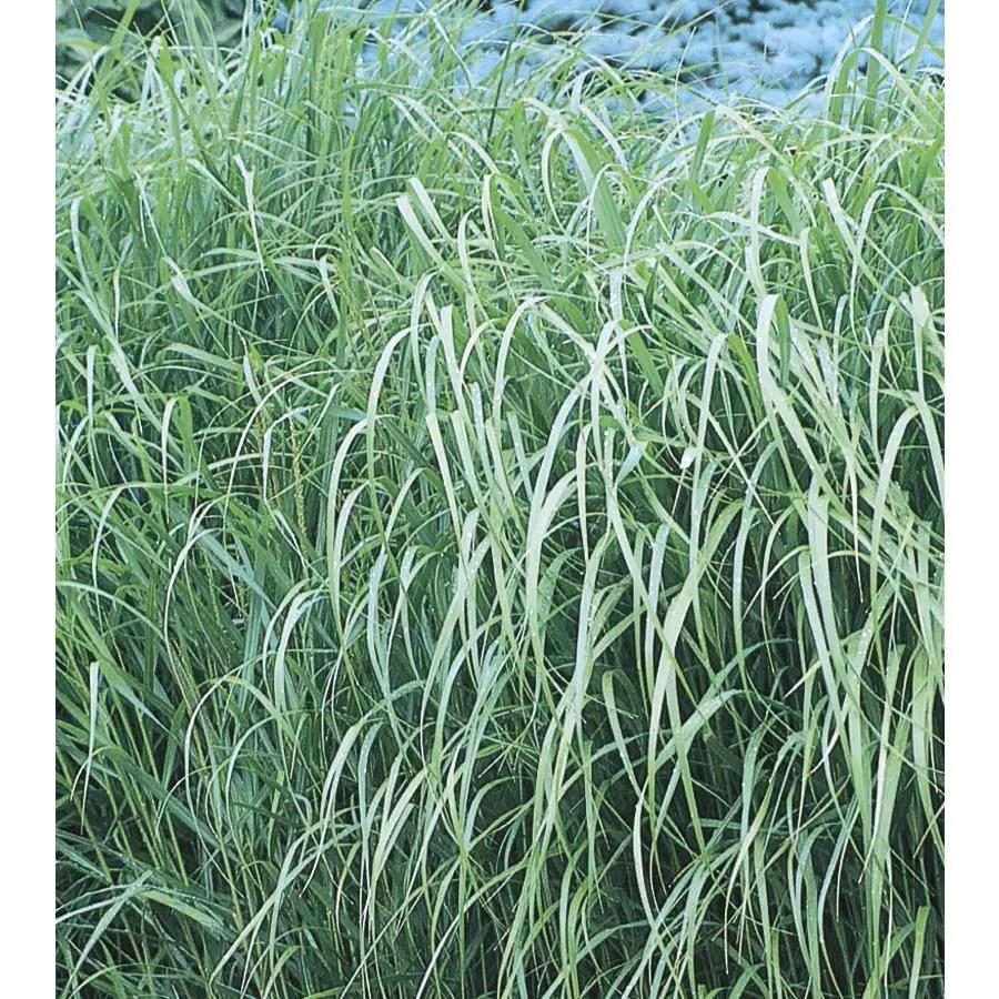 Fullsize Of Shenandoah Switch Grass