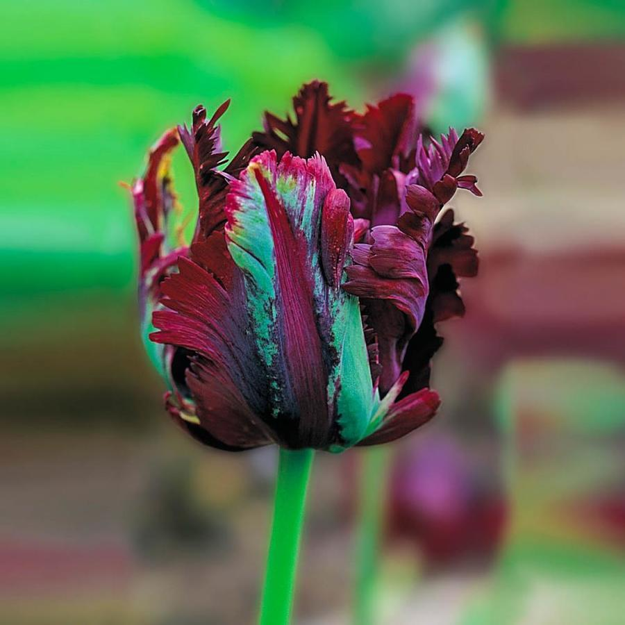 Breck S 25 Pack Black Parrot Tulip Bulbs In The Plant Bulbs Department At Lowes Com
