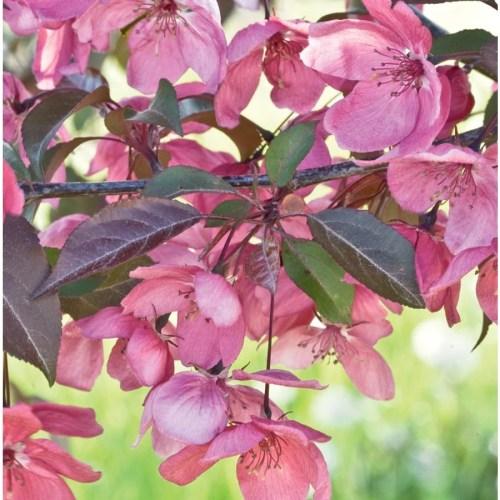 Medium Of Purple Flowering Tree