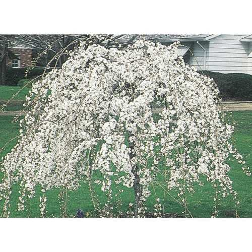 Frantic Weeping Snow Fountain Cherry Feature Tree Shop Weeping Snow Fountain Cherry Feature Tree Snow Fountain Weeping Cherry Tree S Snow Fountain Weeping Cherry Problems