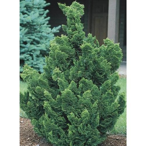 Medium Of Slender Hinoki Cypress