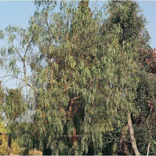 Medium Of California Pepper Tree