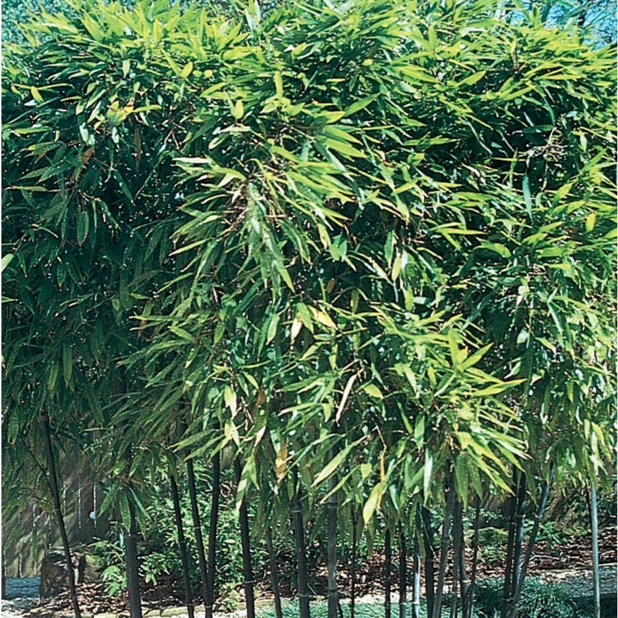 Phyllostachys Nigra In Pots 11 1 Gallon Green Black Bamboo Accent Shrub In Pot L14593 At Lowes