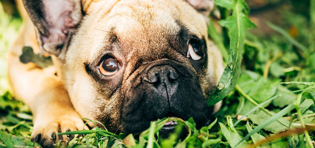 A Vets Take On Why Dogs Eat Grass Modern Dog Magazine