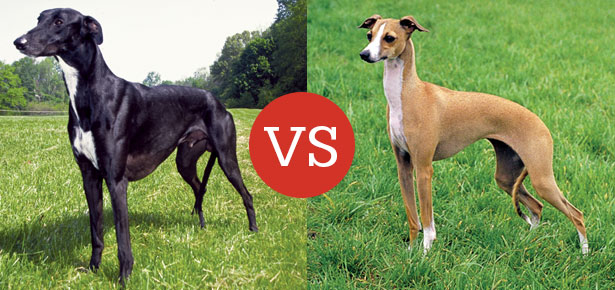 What39s The Difference Between The Greyhound And The