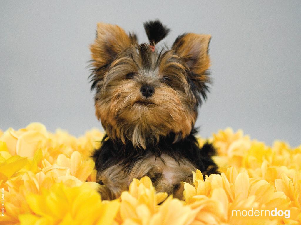 Cute Duck Wallpapers Puppies Free Modern Dog Wallpaper Modern Dog Magazine