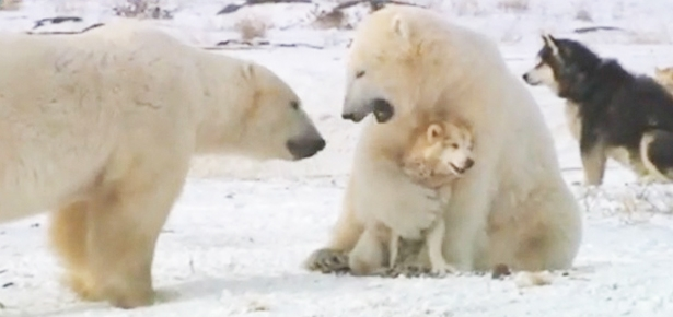 Cute Tiger Cubs Hd Wallpapers Polar Bears And Dogs Playing Modern Dog Magazine