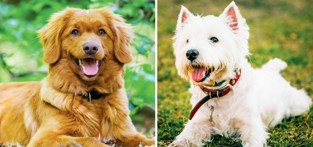 Cute Header Wallpaper Is The Toller Or The Westie The Dog For You Modern Dog