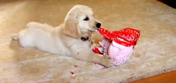Cute Dog Christmas Pics Wallpaper Video Of The Day Dogs Opening Christmas Presents