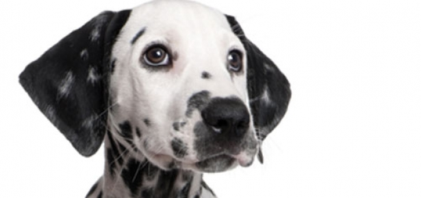 A Cute Puppy Wallpaper The Dalmatian Modern Dog Magazine
