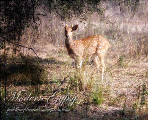 Spotted Deer_Bharatpur Bird Sanctuary