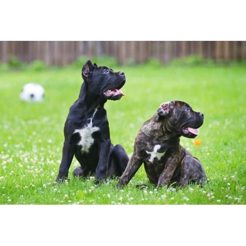 Medium Crop Of Brindle Dog Breeds
