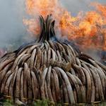 كينيا تحرق كميات ضخمة من العاج في إطار سعيها لحظر تجارته
