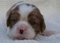 Blenheim Cavalier King Charles Spaniel Puppy