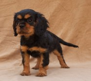 Black & Tan Cavalier King Charles Spaniel Puppy
