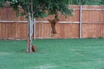 Ruby Cavalier King Charles Spaniel Jumping
