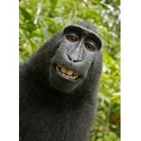 Us Federal Court Calendar Judge Orrick Orrick William H Who United States District Court Judge Monkey Cannot Own Selfie Photos Copyright