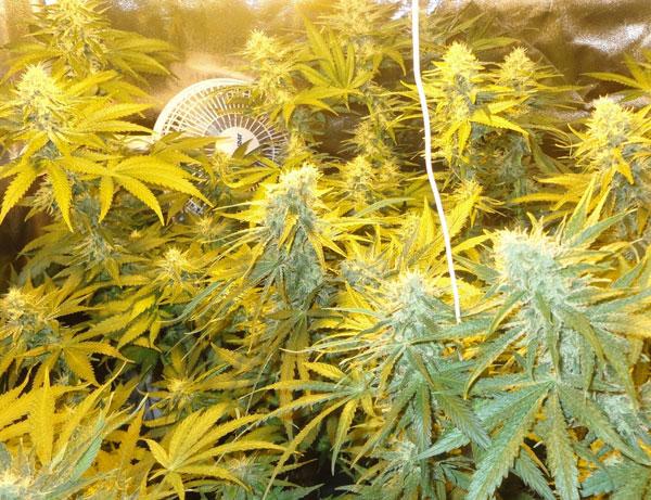 Top High Yield Strains List Indoor Outdoor Seeds Mold