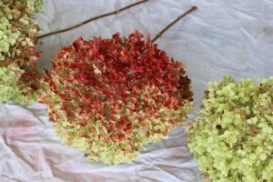 Starting to spray paint my red hydrangeas.