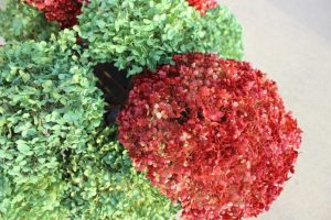My red and green spray painted hydrangeas.