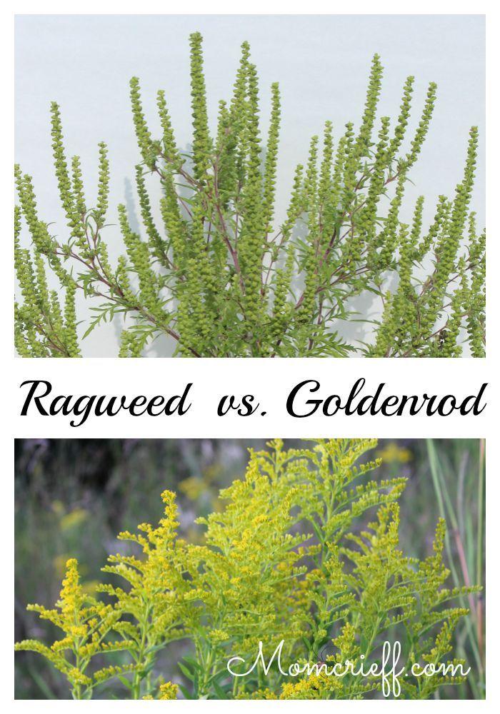 Ragweed - Identifying Ragweed vs Goldenrod - Momcrieff