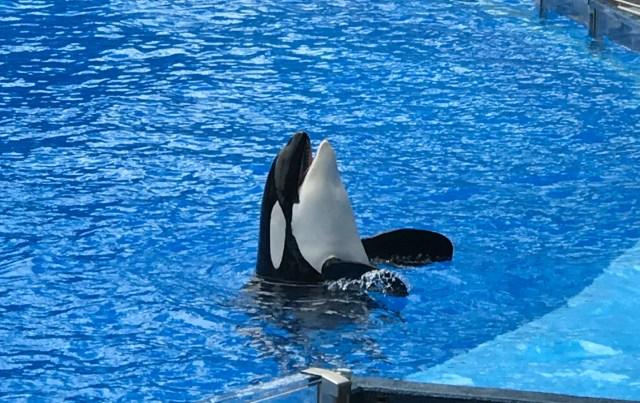 Orka-show-sea-world-killer-whale