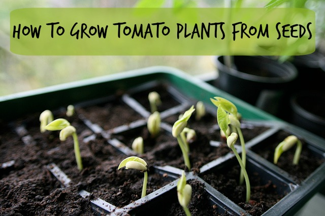 Growing Tomato Plants From Seeds - Mom Prepares
