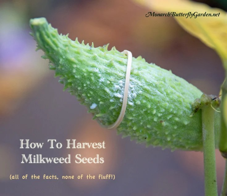 How To Harvest Milkweed Seeds All of The Facts, No Fluff!