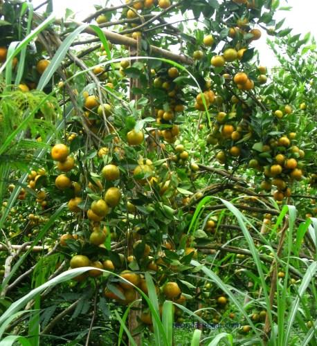 kebun jeruk kintamani