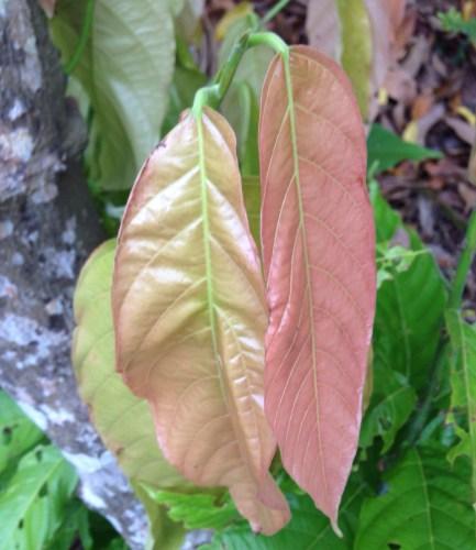daun pohon coklat
